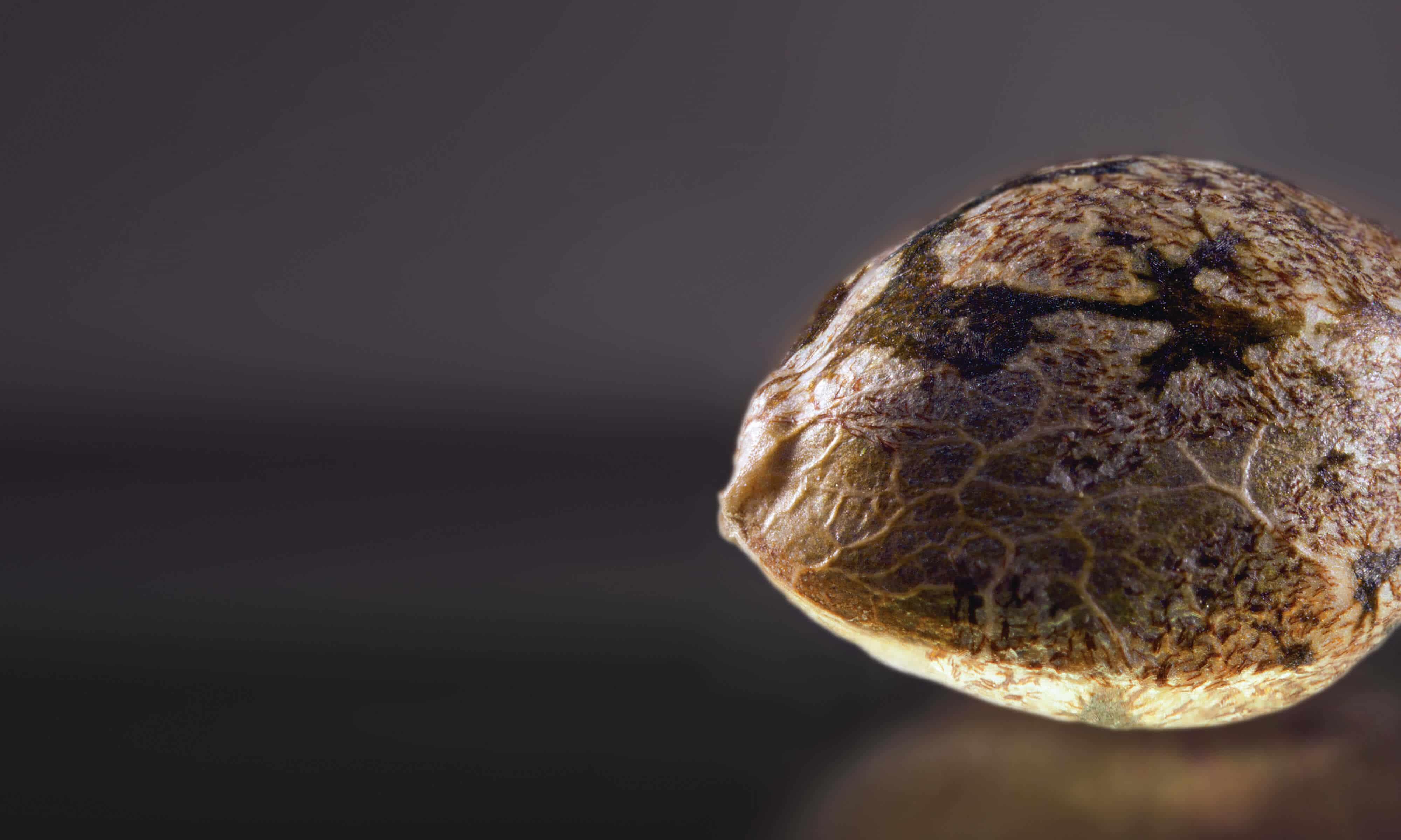 Female Marijuana Seed Picture